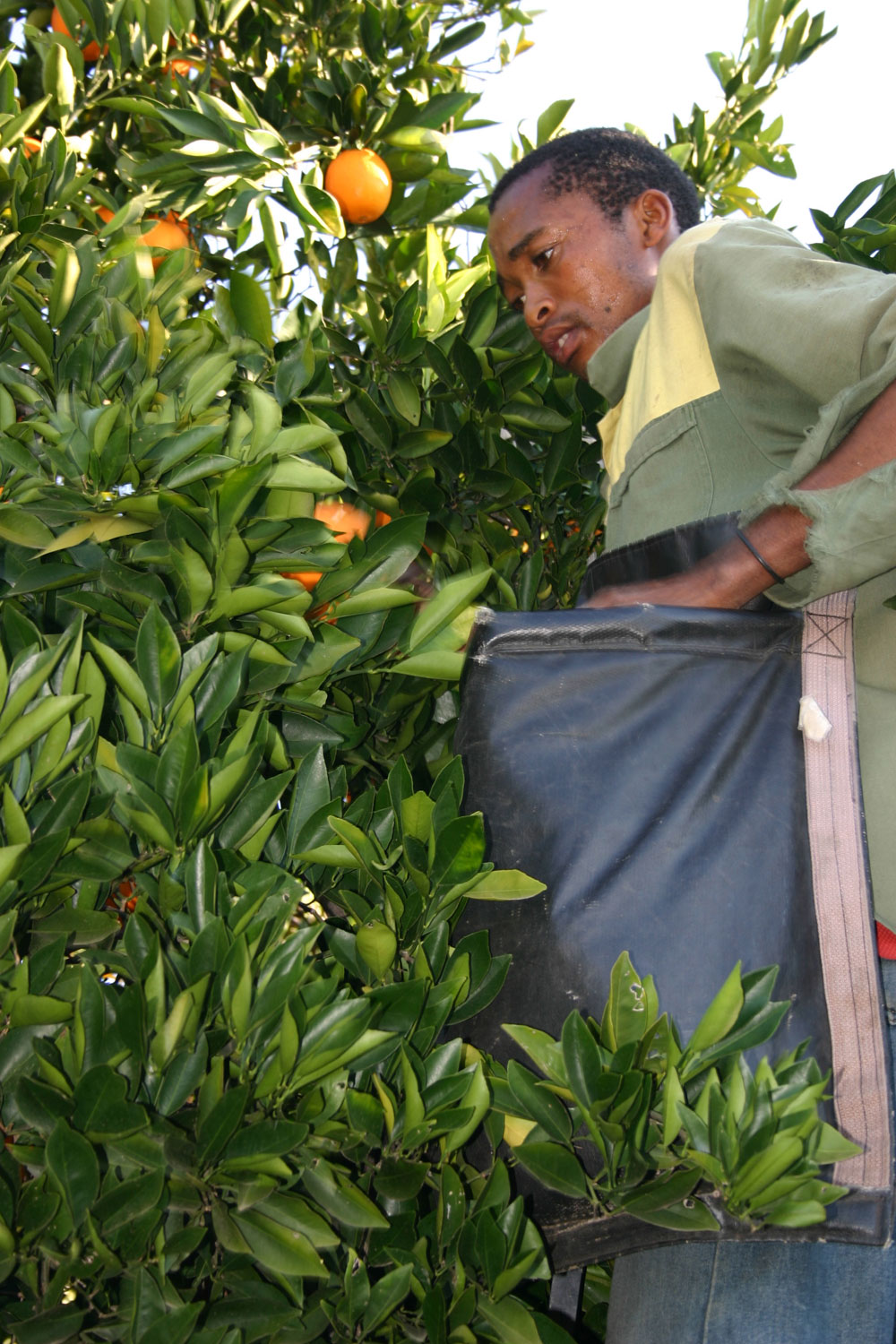 Citrus-harvesting-Citrusdal