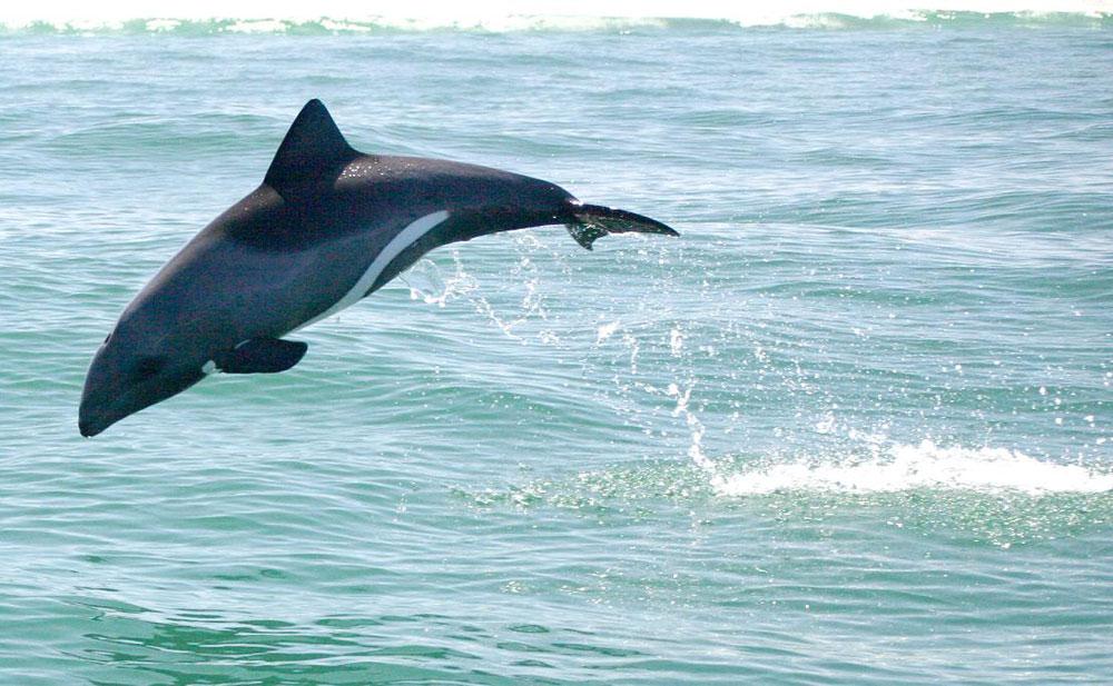 Heaviside-Dolphin-Lambertsbay